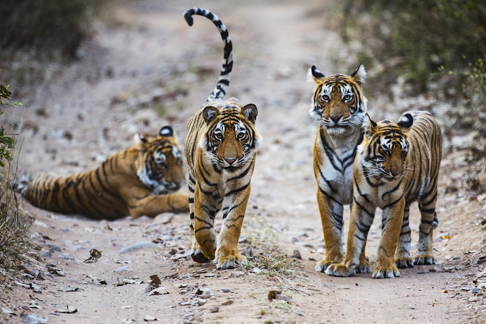 A family of four wild Bengal tigers coming together in the early morning