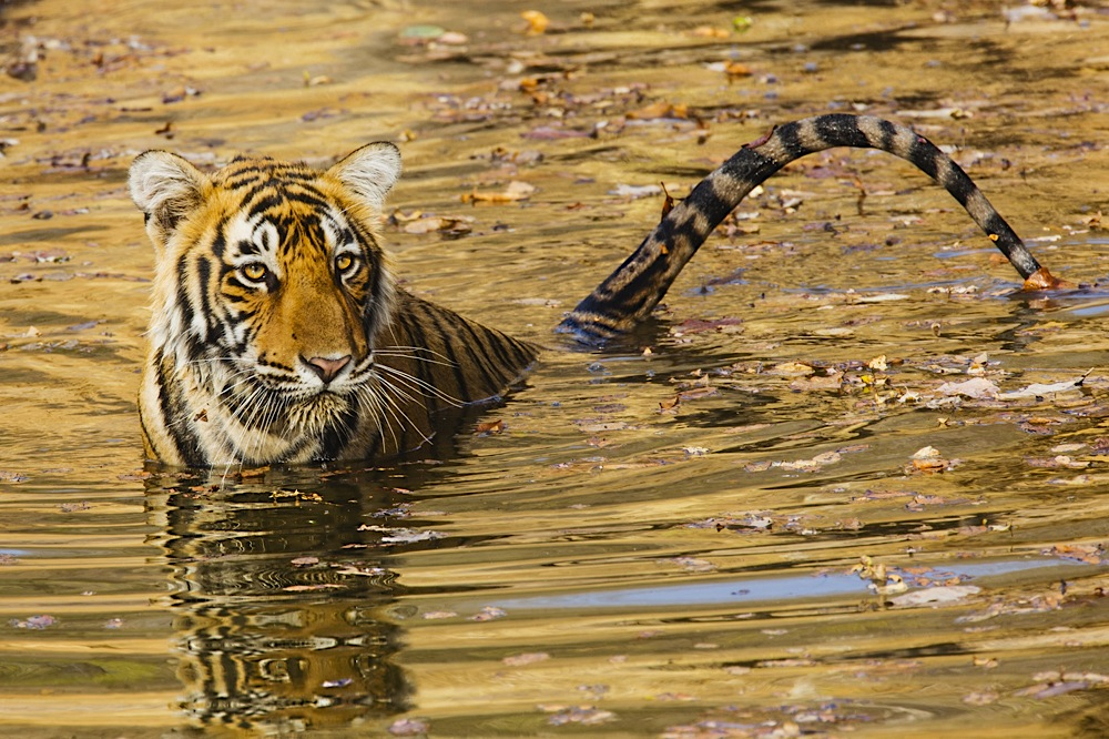Front view of a Bengal tiger sitting in a water hole, golden reflection