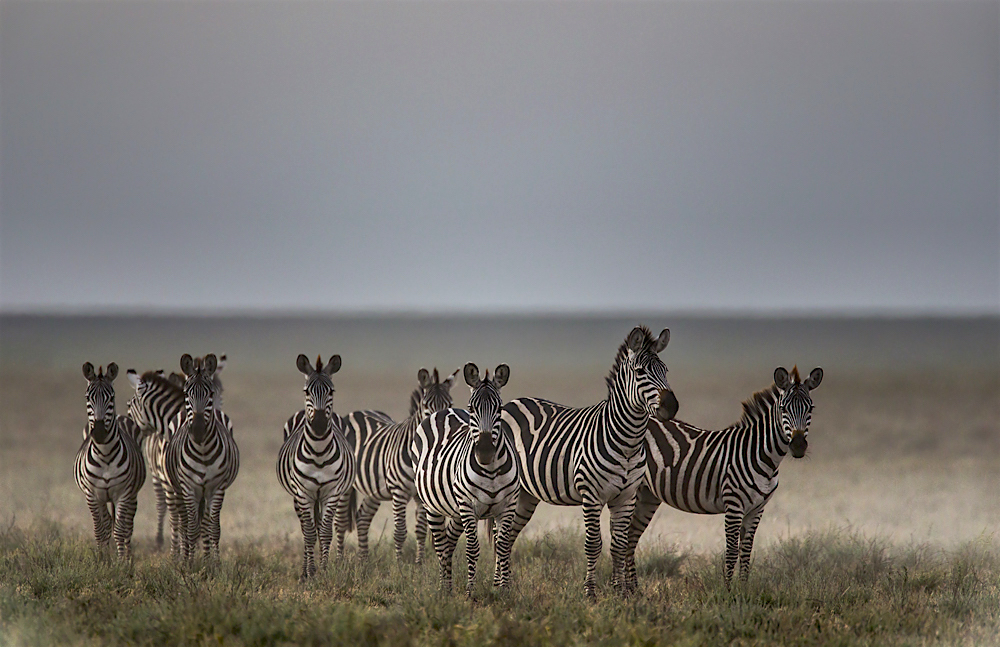 A herd of zebra standing on the plain in the mist