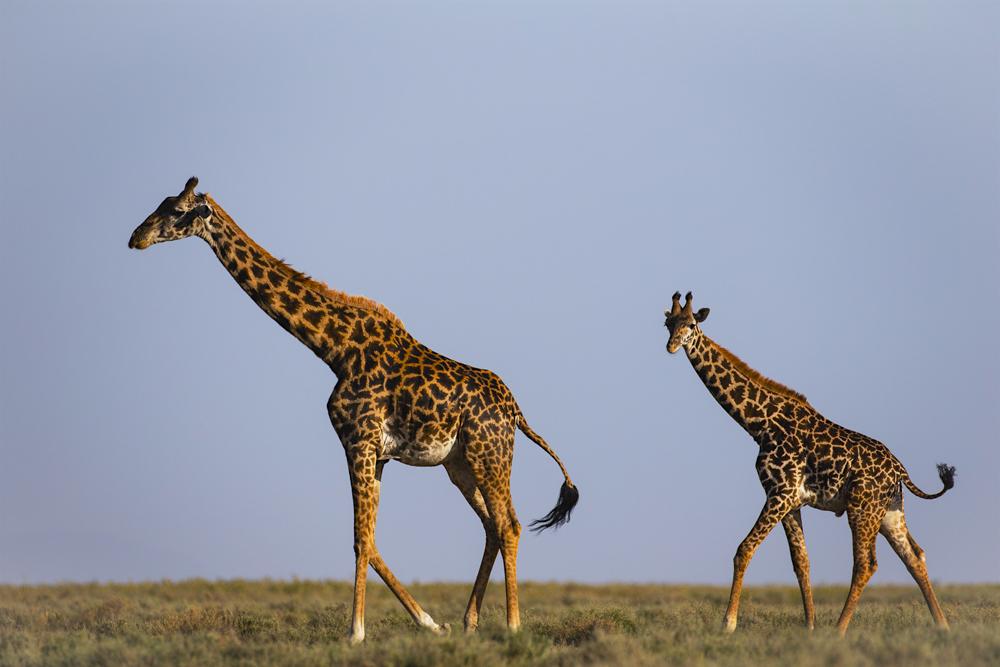 A journey of giraffe walking on the plain