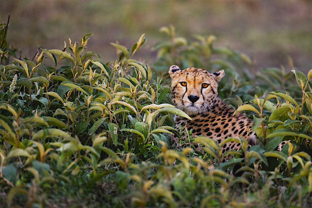 A hunting cheetah hiding in deep vegetation while hunting