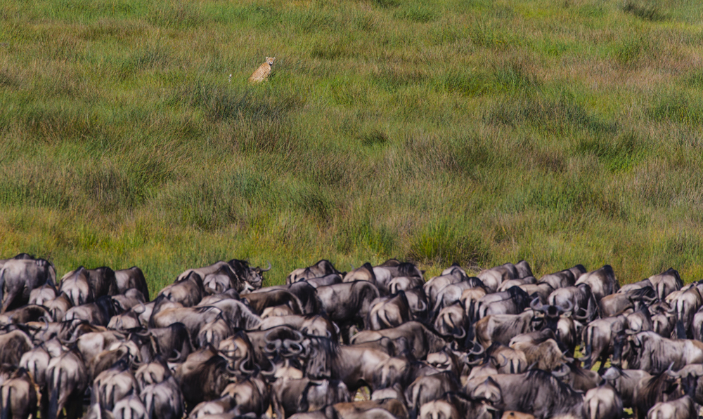 A hunting cheetah sitting behind a herd of alerted wildebeest