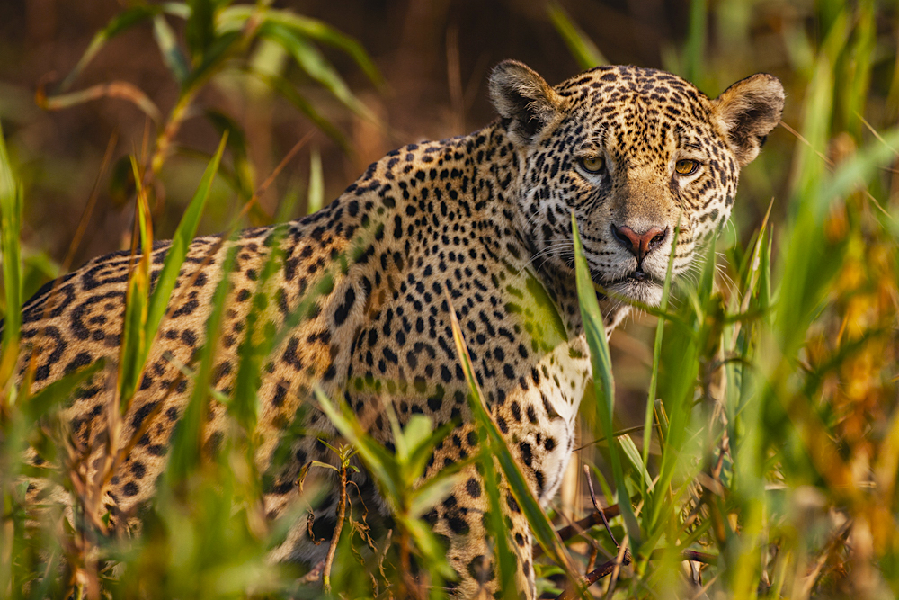 A wild jaguar in the Pantanal