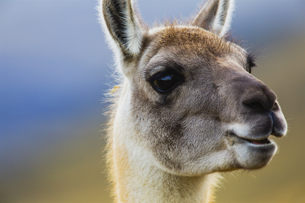 A portrait of a guanaco