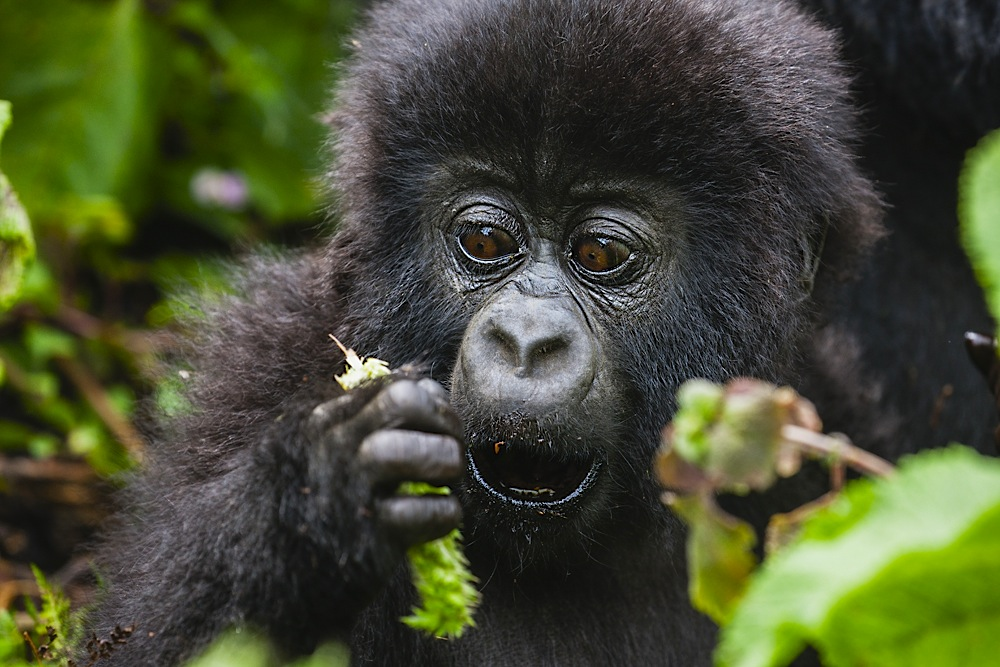 Portrait of a young mountain gorilla baby, look of surprise