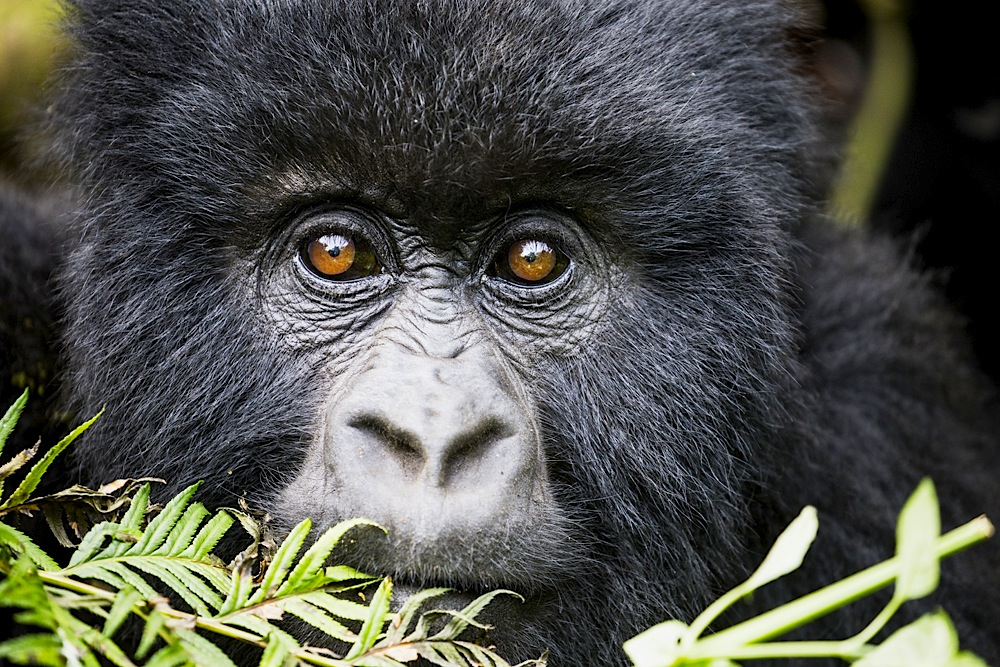 Mountain gorilla portrait, close-up