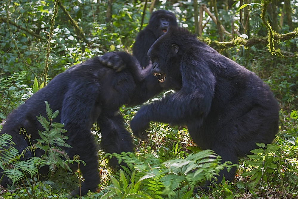 Sub-adult black back gorillas fighting