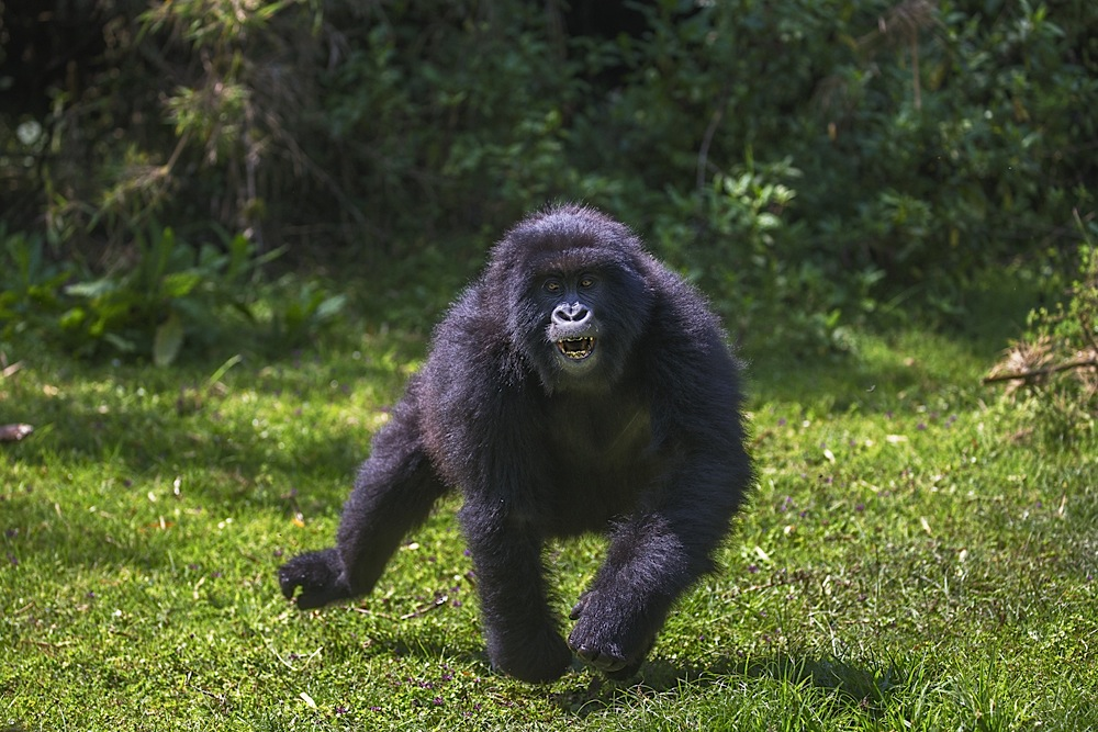 A young male mountain gorilla charging in the forest