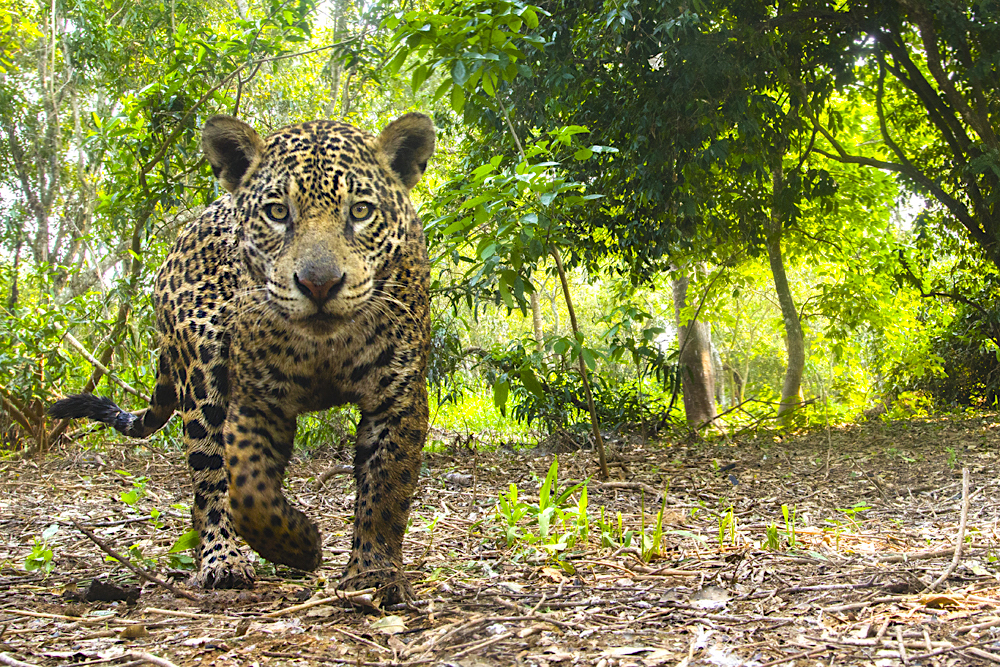 A close-up wide angle of a wild jaguar inthe Pantanal