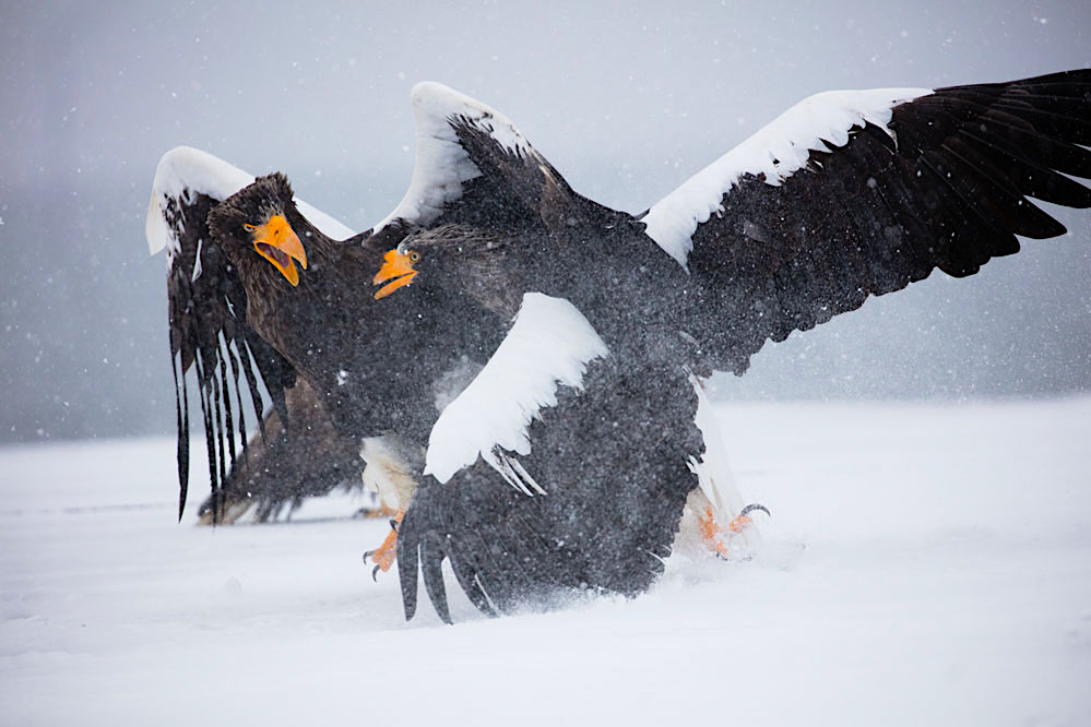 Steller sea eagles fighting over fish in northern Hokkaido