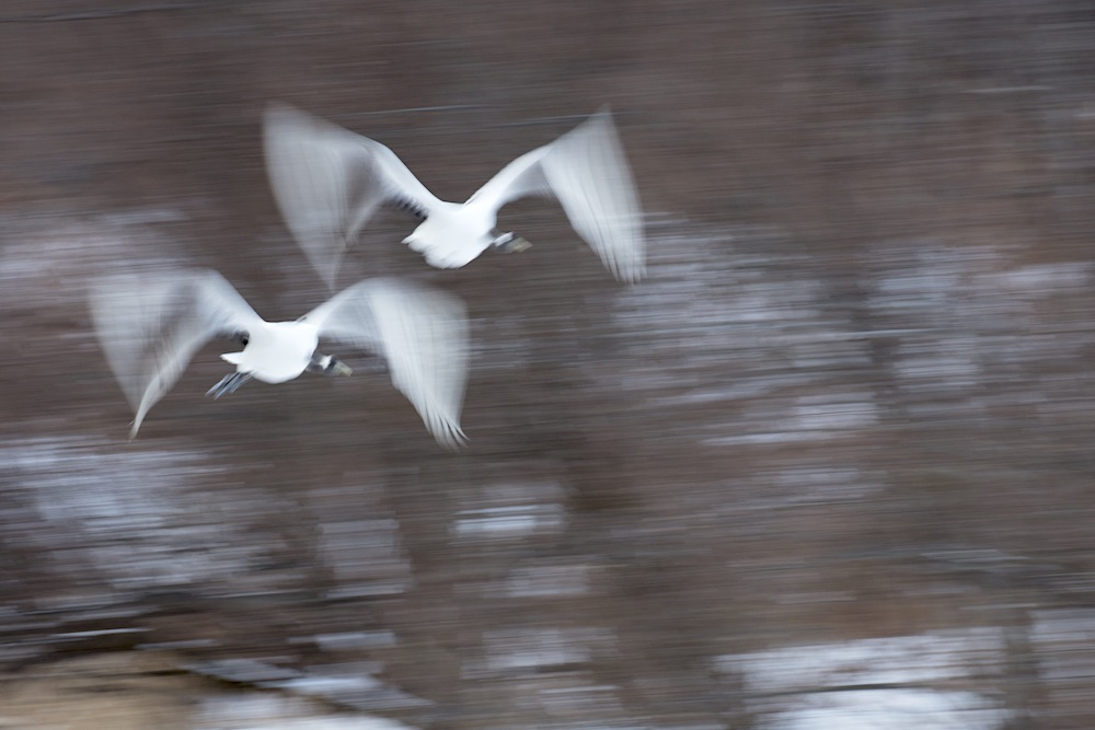 Red-crowned cranes flying; northern Hokkaido