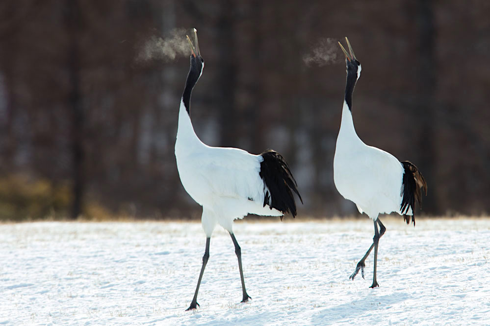 Red-crowned cranes calling in northern Hokkaido