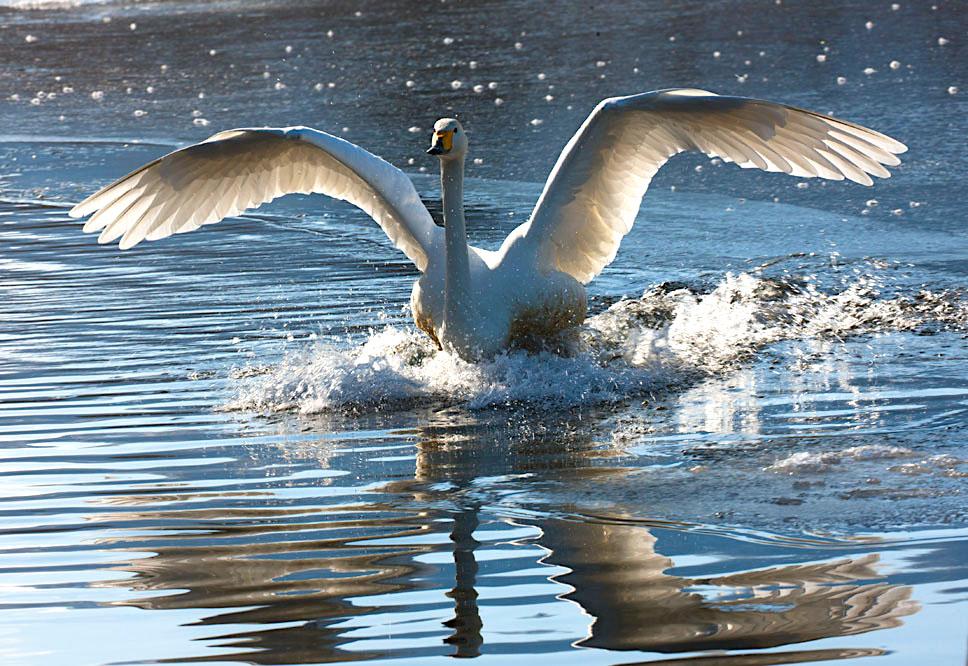 Whooper swan landing in water in northern Hokkaido