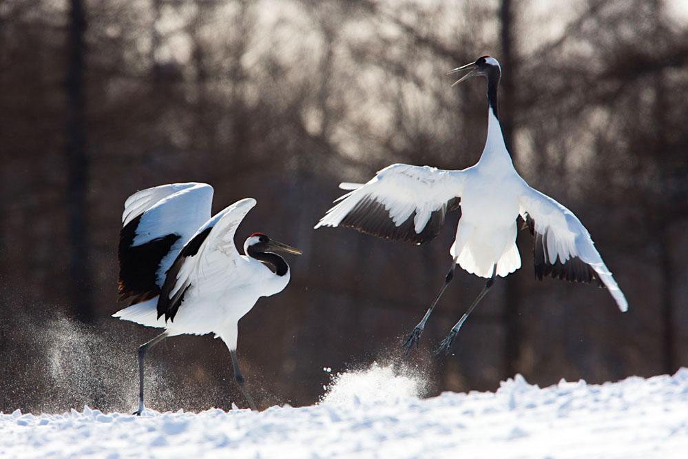 Red-crowned cranes dancing; northern Hokkaido