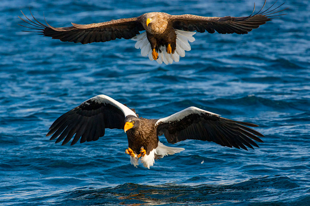Steller sea eagle and white-tailed eagle; northern Hokkaido