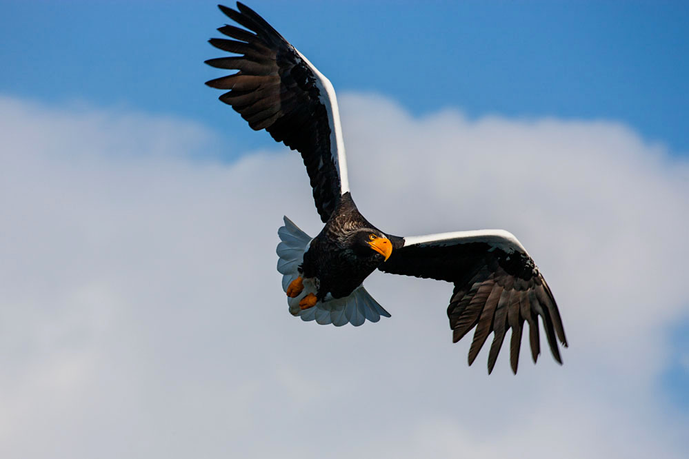 Steller sea eagle flying; northern Hokkaido