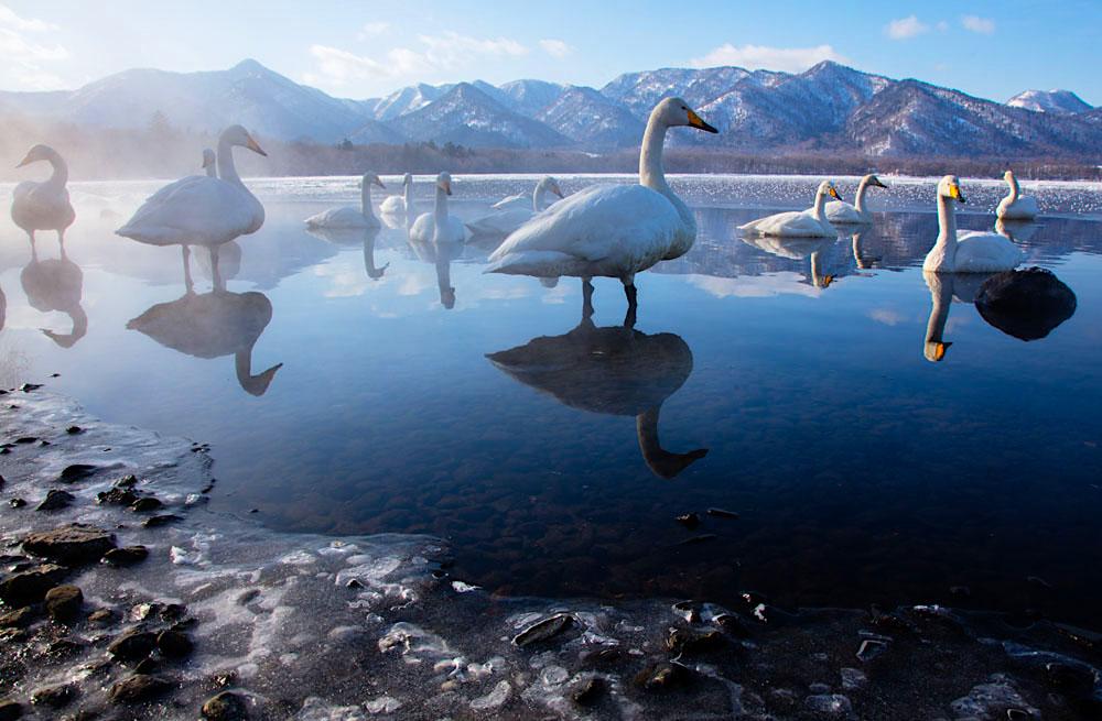 Whooper swans in lake; Hokkaido