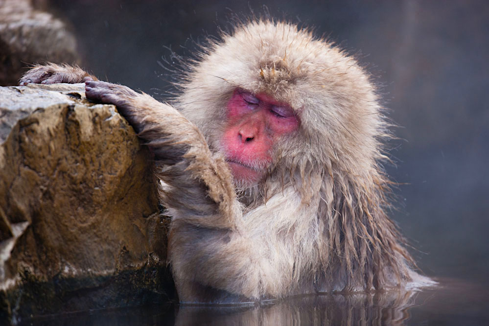 Snow monkey in hotspring; Japanese Alps