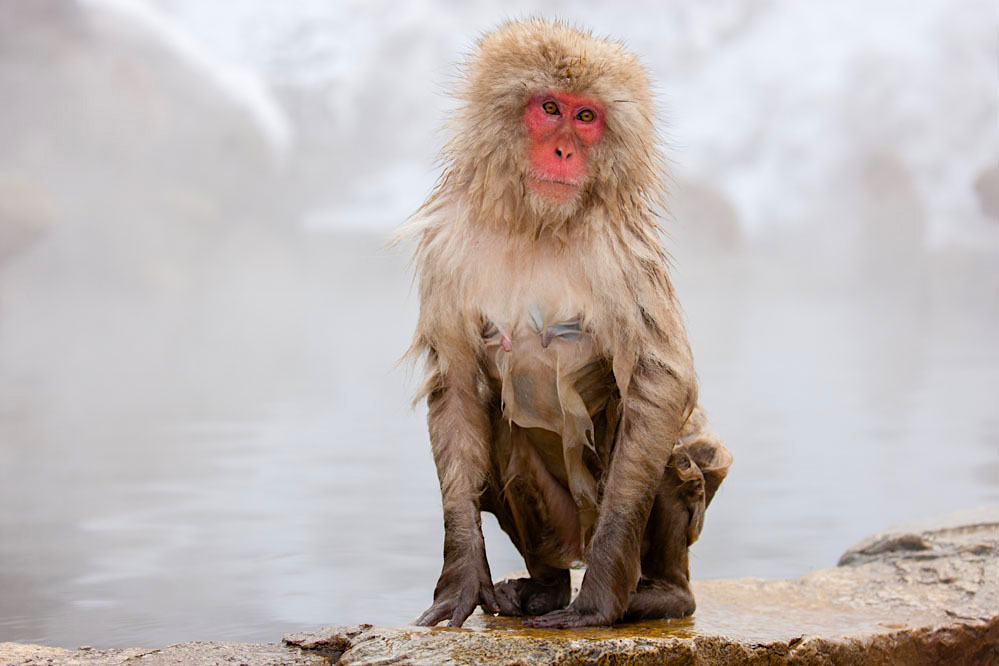 Wet snow monkey after leaving hotspring; Japanese Alps