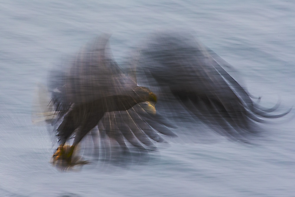 Motion-blur of a Japanese White-tailed sea eagle flying over the ocean