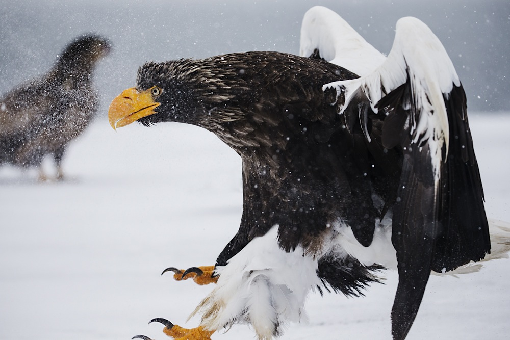 A Japanese Stellar sea eagle landing in a snow storm