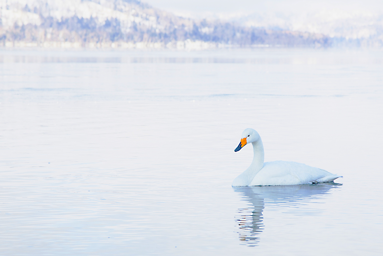 Japanese Whooper swans in winter