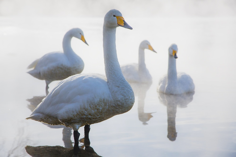 Whooper swans standing in the mist on Lake Kussharo on a cold winter day