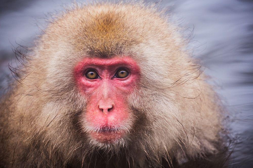 Japanese Monkey Business