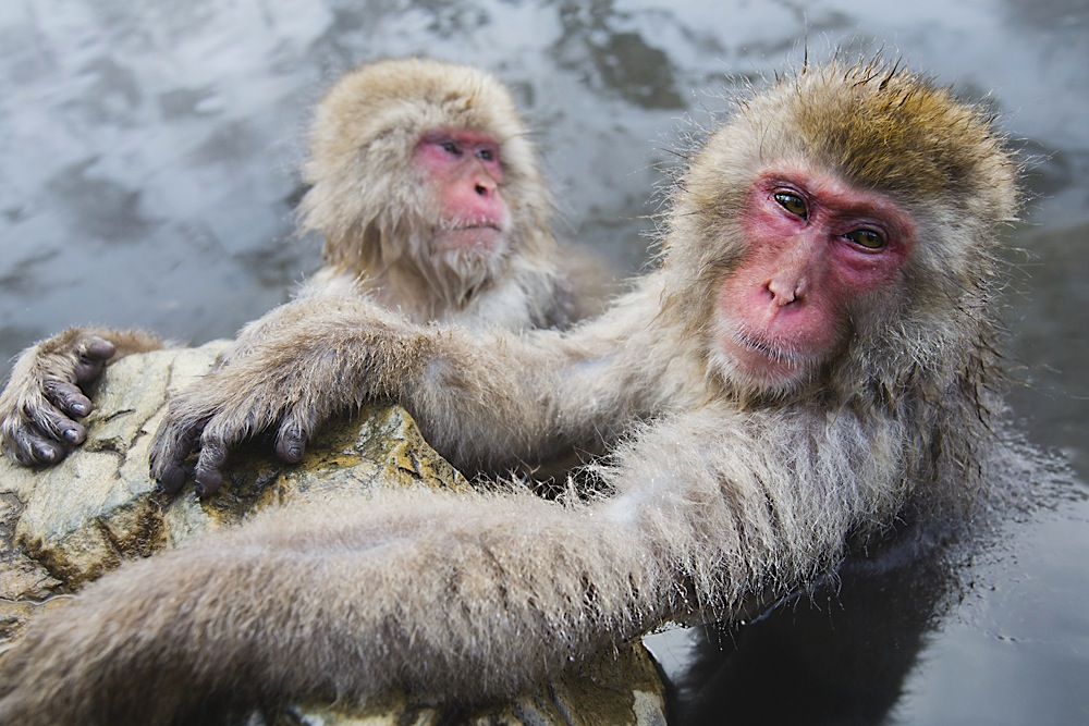 Two snow monkeys in a hotspring