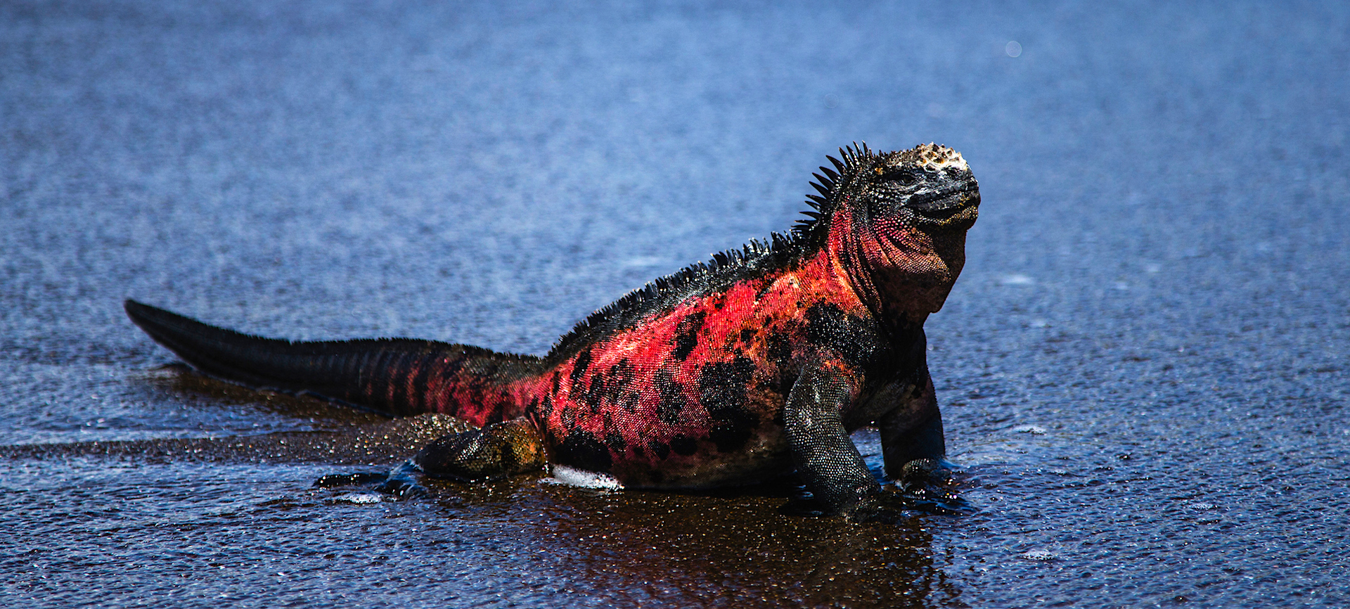 A marine Iguana sitting upright on a black sand beach