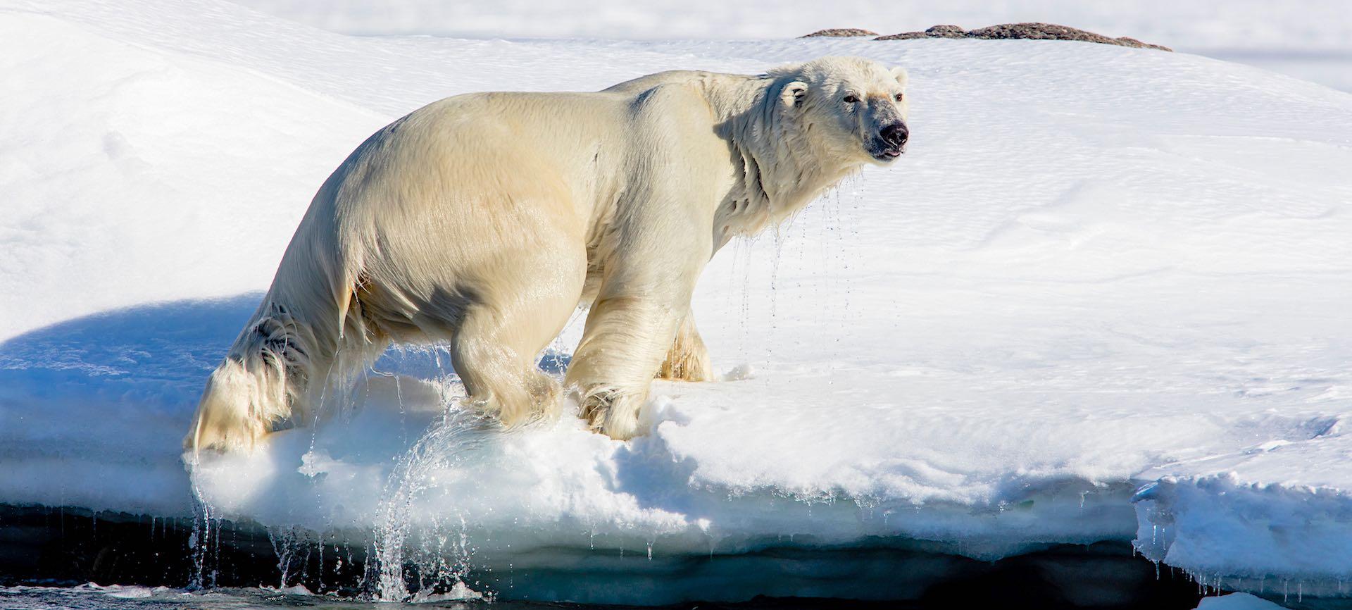 Polar bear climbing onto icy shore