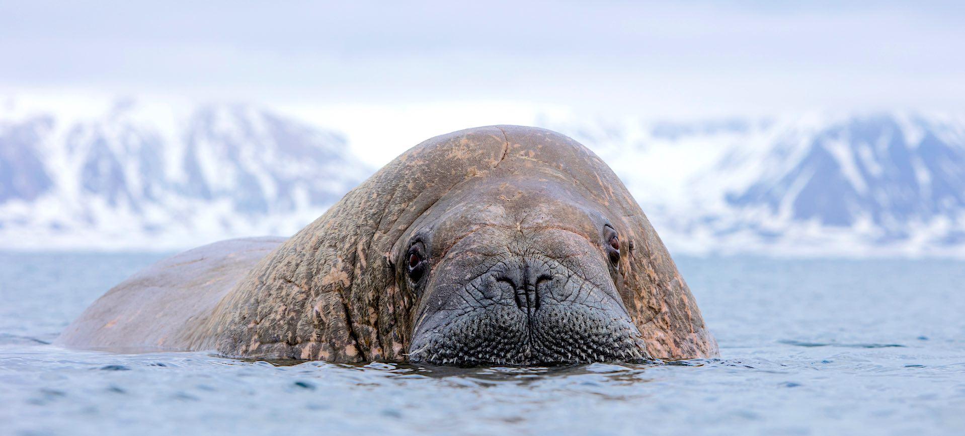 Walrus in ocean