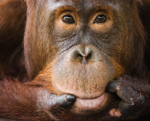 Sub adult male orangutan