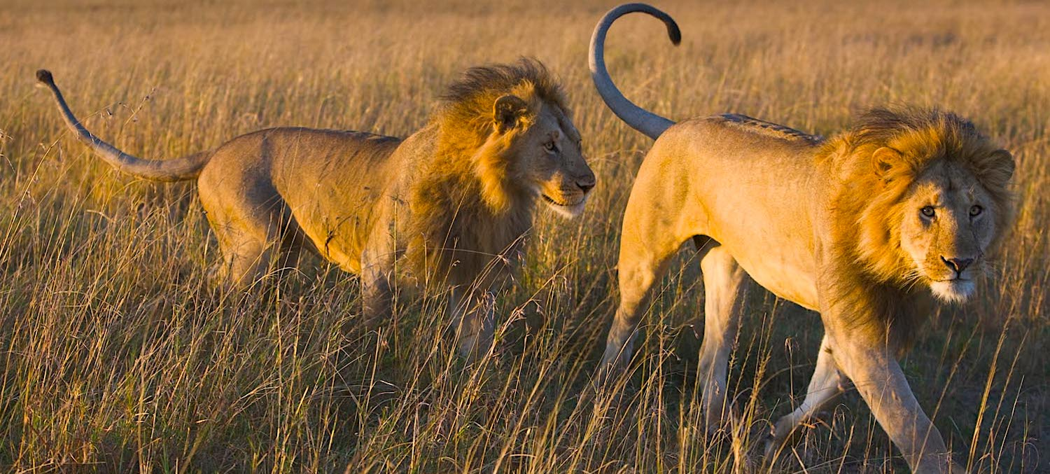 Male lions walking in grassland