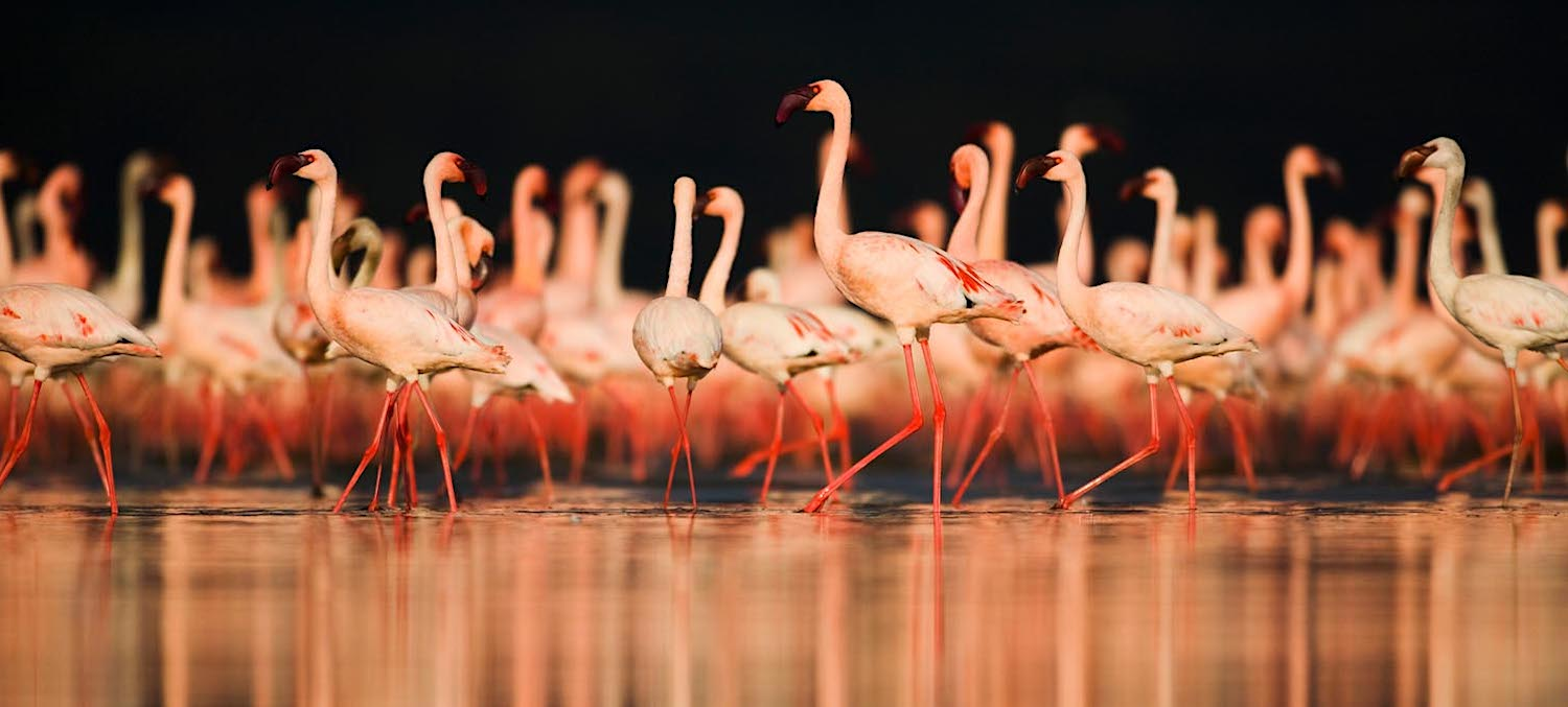 Large flock of lesser flamingos.
