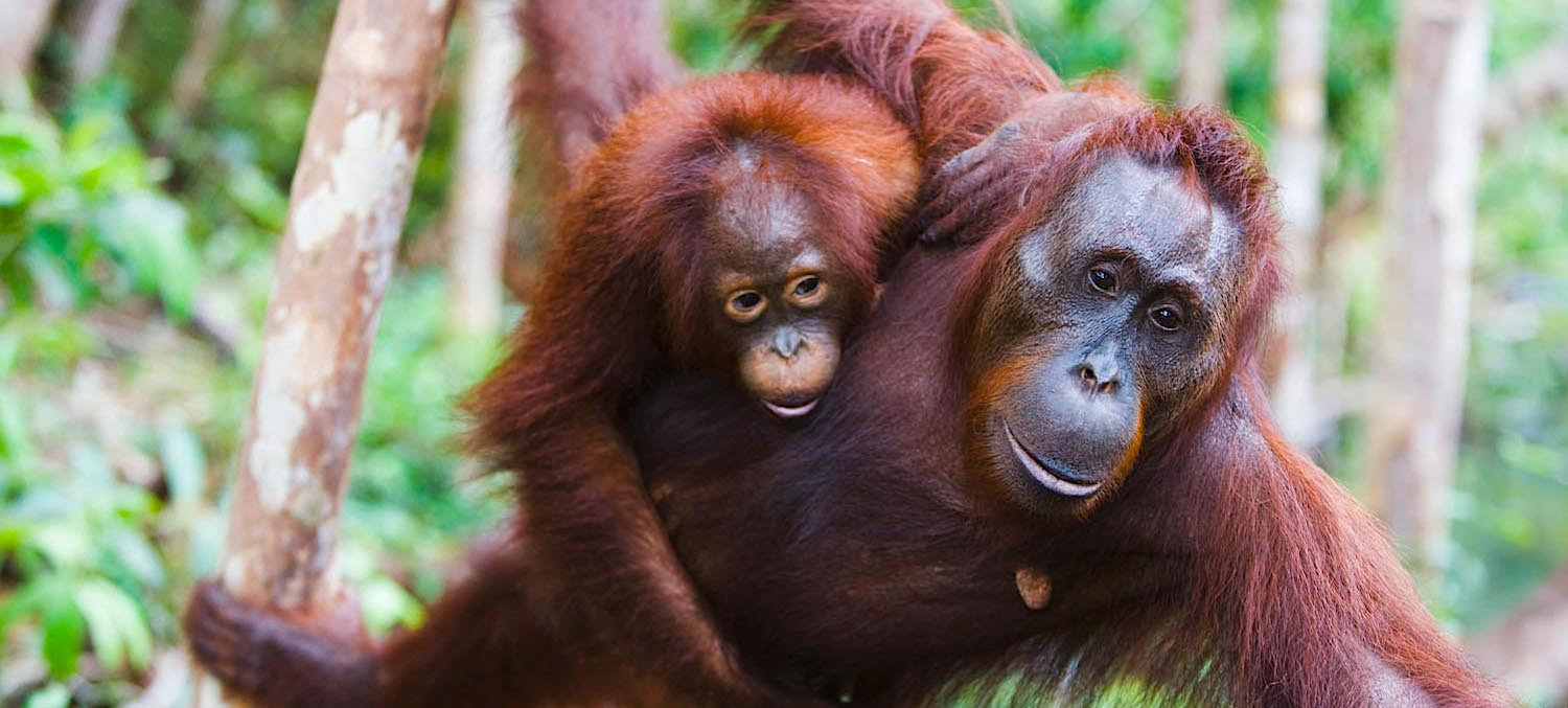 Female orangutan with baby.