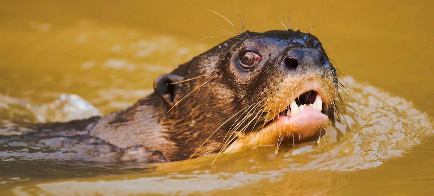 A giant river otter swims by and looks into the camera lens.