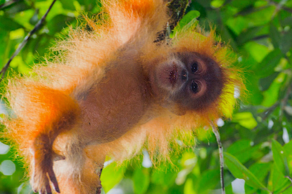Jami's successful expedition to document the new orangutan species on Sumatra