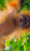 Jami's successful expedition to document the new orangutan species on Sumatra