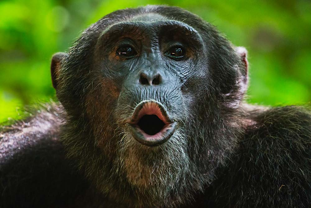A chimpanzee vocalizing in the forest