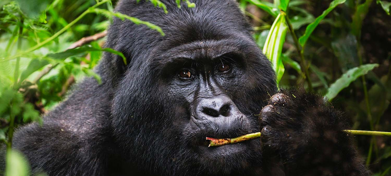 A wild silverback mountain gorilla feeding quietly on the forest floor
