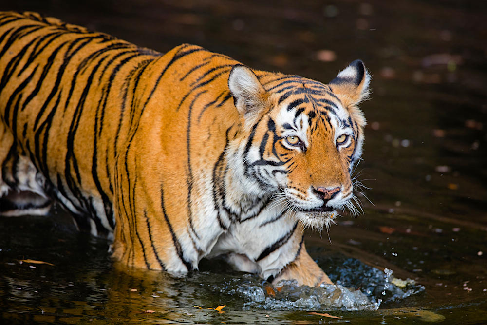 Bengal tigers in waterhole