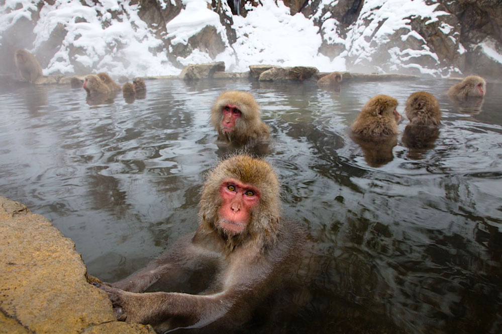 Snow monkeys in hotspring; Japanese Alps
