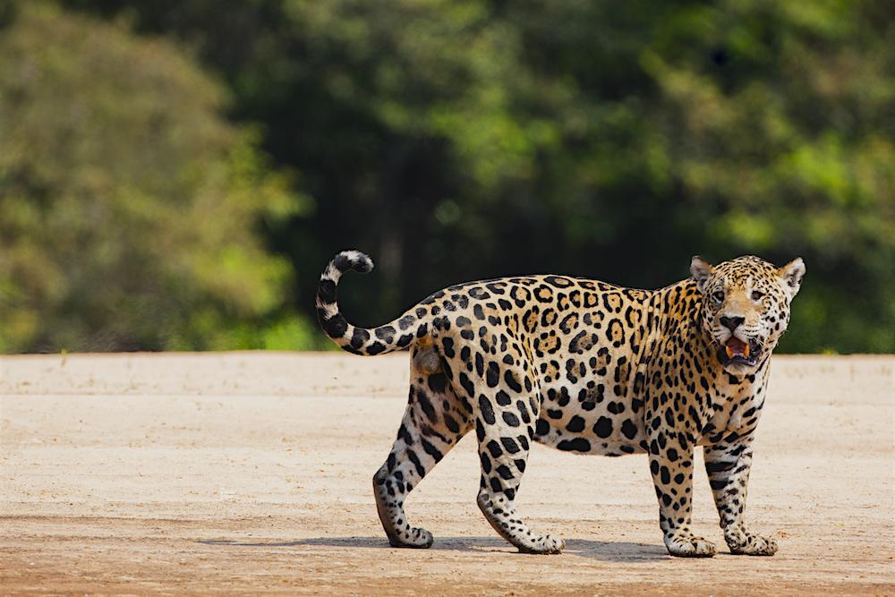 Tarris_Pantanal_08_2014_1152-1