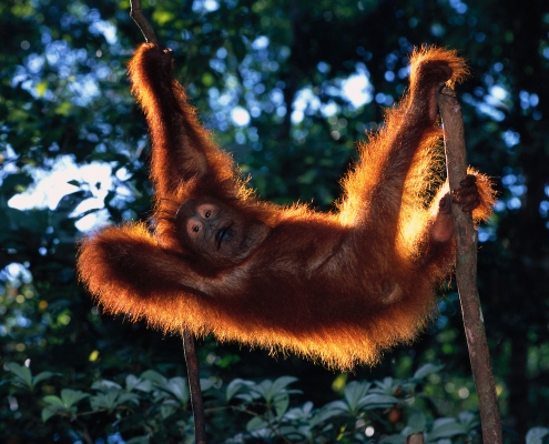 Indonesia expedition - Orangutan in Tree
