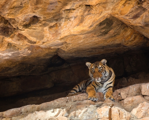 India tiger expeditions - Bengal tiger cub in cave