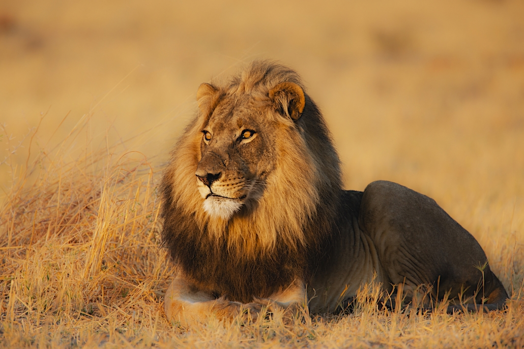A dominant male lion resting in warmth of evening sun