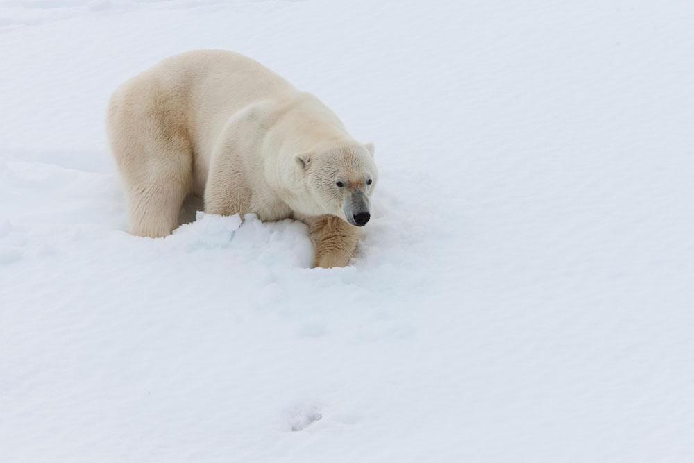 Male polar bear
