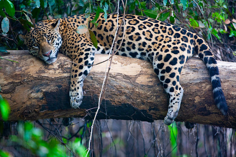 Pantanal_Allofs_2019_2796