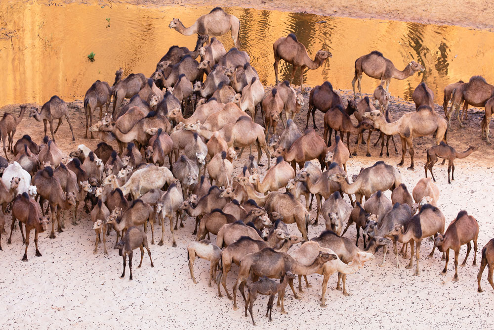 Camels in Ennedi, Chad